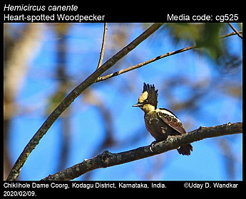 Hemicircus canente - Heart-spotted Woodpecker