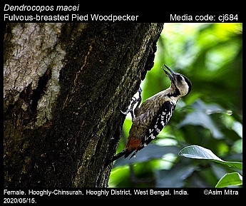 Dendrocopos macei - Fulvous-breasted Pied Woodpecker