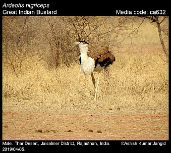 Ardeotis nigriceps - Great Indian Bustard
