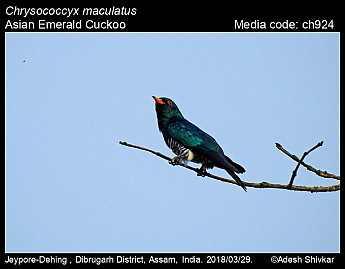 Chrysococcyx maculatus - Asian Emerald Cuckoo