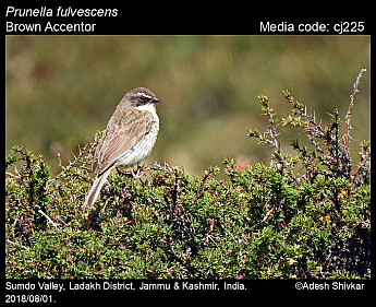 Prunella fulvescens - Brown Accentor