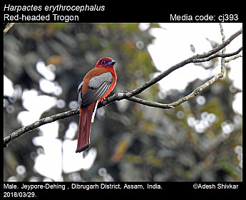 Harpactes erythrocephalus - Red-headed Trogon