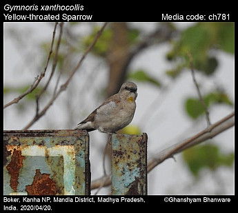 Gymnoris xanthocollis - Yellow-throated Sparrow