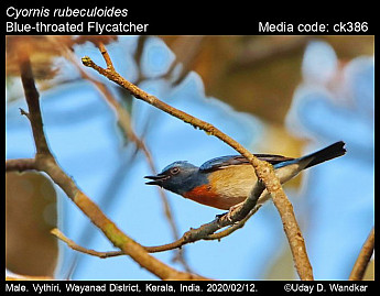 Cyornis rubeculoides - Blue-throated Flycatcher